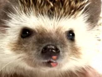 Colbert Report - Hedgehog Herpes